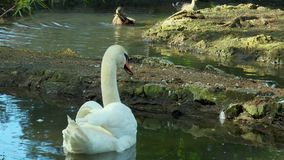 Swans swim in the pond. In the background you can see wild ducks stock footage