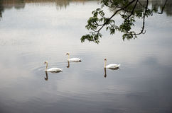 Swans swim in a rural pond. Royalty Free Stock Photography