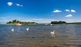 Swans swim at Shipstal Point, Dorset with views across harbour t. Golden sands border the Arne Heathland, Dorset with views across the harbour waters to the Royalty Free Stock Image
