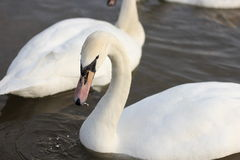 Swans. Swim in the winter lake Royalty Free Stock Image