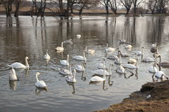 Swans. Swim in the winter lake Stock Photo