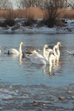 Swans. Swim in the winter lake Stock Photos