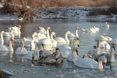 Swans. Swim in the winter lake Stock Image