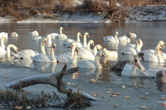 Swans. Swim in the winter lake Royalty Free Stock Photo
