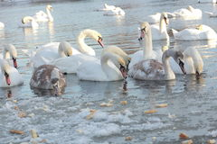 Swans. Swim in the winter lake Royalty Free Stock Images