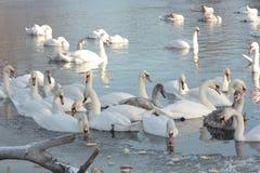 Swan swiming Stock Image