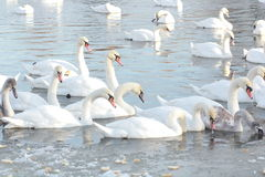 Swans. Swim in the winter lake Royalty Free Stock Photos