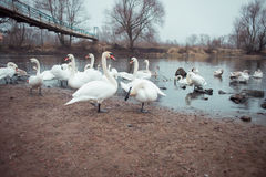 Swans. Swim in the winter lake Royalty Free Stock Photography