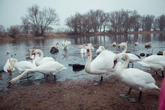 Swans. Swim in the winter lake Stock Photography
