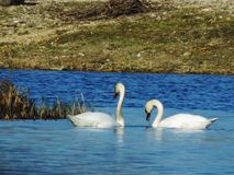 Swans swimming and bathe in the lake stock photo