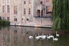 Swans swimming in the channel in Bruges Stock Photography