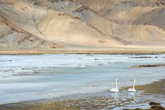 Swans swimming on cold iced lake Royalty Free Stock Photography
