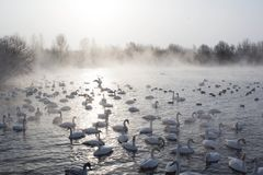 Swans swimming in the mist. Beautiful, romantic landscape with swans swimming in the foggy Svetloye lake in winter royalty free stock image