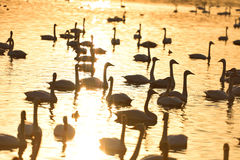 Swans swimming on golden water with ripples Royalty Free Stock Photo