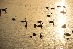 Swans swimming on golden water Stock Images