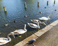 Swans swimming in Hyde Park Royalty Free Stock Photography