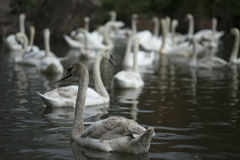 Swans. Swimming on a lake Stock Photo
