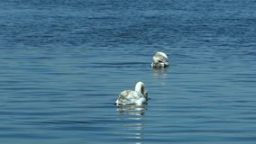 Swans swimming on lake beautiful sunny day stock footage