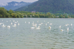 Swans swimming in lake Stock Photography