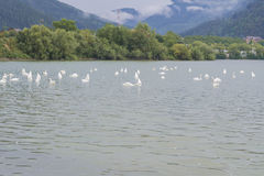 Swans swimming in lake 2 Royalty Free Stock Images
