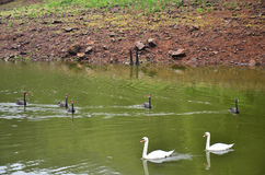 Swans swimming at lake of reservoir in Pang Ung Royalty Free Stock Photography