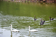 Swans swimming at lake of reservoir in Pang Ung Royalty Free Stock Photos