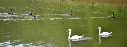 Swans swimming at lake of reservoir in Pang Ung Stock Image