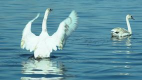 Swans swimming on lake stock video footage