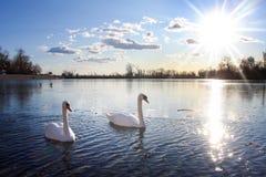 Swans swimming in lake Stock Photos