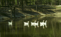 swans swimming one behind the other in the lake Royalty Free Stock Photos