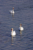 Swans. Swimming in a pond Royalty Free Stock Images