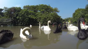 Swans swimming on the pond. HD stock video footage
