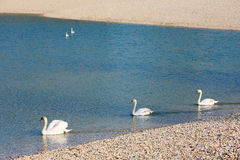 Swans swimming in pond Royalty Free Stock Image