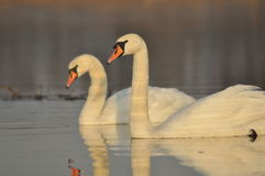 Swans swimming on the river. A pair of birds on the water. Love. And faithfulness Royalty Free Stock Images