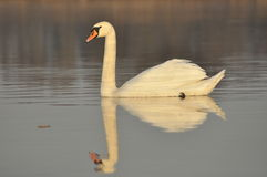 Swans swimming on the river. A pair of birds on the water. Love. And faithfulness Stock Photo