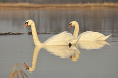 Swans swimming on the river. A pair of birds on the water. Love Royalty Free Stock Image