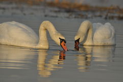 Swans swimming on the river. A pair of birds on the water. Love Royalty Free Stock Photography