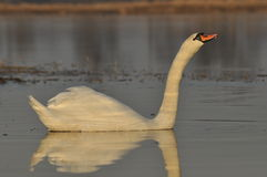 Swans swimming on the river. A pair of birds on the water. Love. And faithfulness Stock Photos