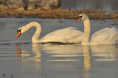 Swans swimming on the river. A pair of birds on the water. Love. And faithfulness Stock Photography
