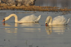 Swans swimming on the river. A pair of birds on the water. Love. And faithfulness Stock Image