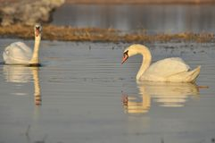 Swans swimming on the river. A pair of birds on the water. Love and faithfulness Royalty Free Stock Image