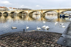 Swans swimming on the river. Vltavav Prague Stock Photos