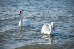 Swans swimming on the sea. Several swans floating near the sea shore Stock Photography
