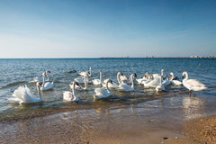 Swans swimming on the sea. Several swans floating near the sea shore Royalty Free Stock Image