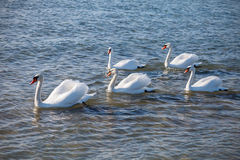 Swans swimming on the sea. Several swans floating near the sea shore Royalty Free Stock Photos