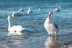 Swans swimming on the sea. Several swans floating near the sea shore Royalty Free Stock Photo