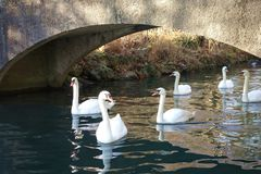 Swans Swimming Under Arched Bridge stock images