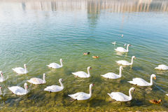 Swans swimming up river Royalty Free Stock Image