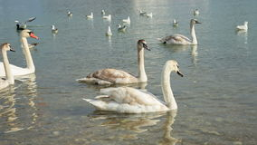 Swans swimming on water stock video footage