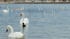 Swans swimming on water stock footage